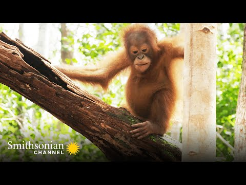 These Orphan Orangutans Are Learning to Build Nests