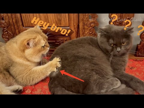 Cute Cats Meowing