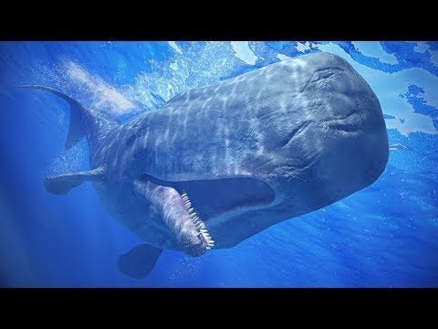 """SPERM WHALE is the largest predator! """"Sperm whale vomit"""" is more expensive than gold"""