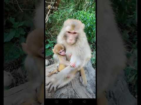 FUNNY Monkey - MONKEY MAME VIDEO FUNNY