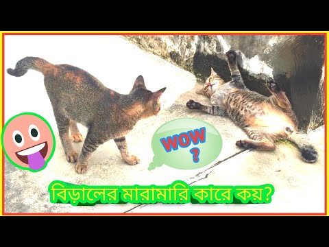 Funny cat videos | Cat Fight ♥ Cat Playing.