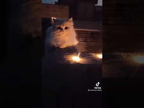 funny cat videos cat playing vidos#shorts