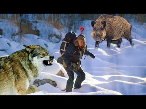 What you shouldn't do if you come across a wolf or a wild boar!!!